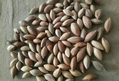 广西壮族自治区梧州市岑溪市蓝莓种子
