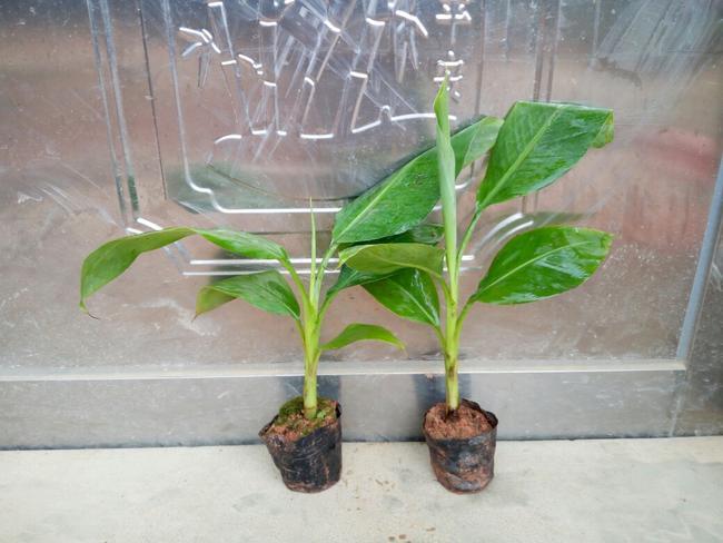 威廉斯香蕉苗