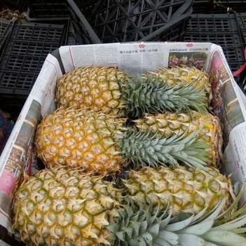 大量供应广东徐闻菠萝,曲界菠萝,产地农户直销