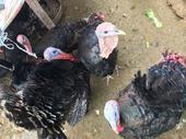 青銅火雞 2斤以下 苗 1日齡