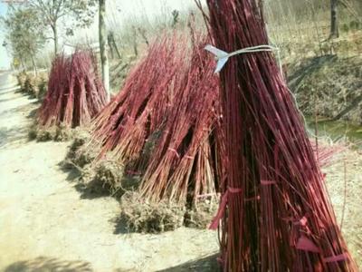 河北省沧州市献县丛生红瑞木
