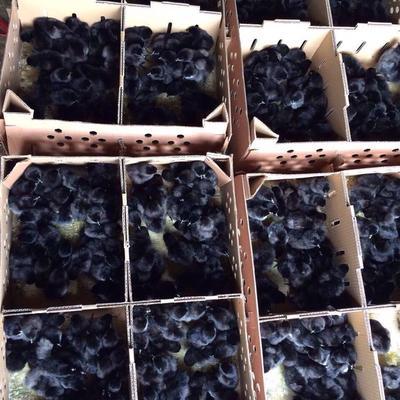 廣西壯族自治區南寧市興寧區綠殼蛋雞苗 鎮店之寶 鉆石級賣家你值得信賴