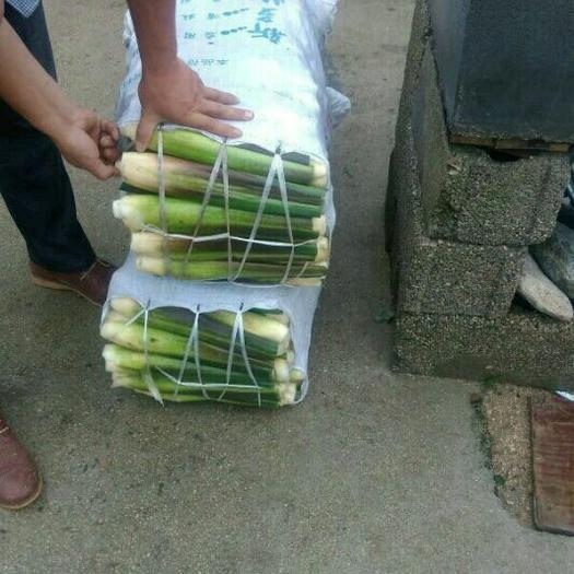 安徽省安庆市岳西县 单季双季老根 茭白种苗  芽头多 产量高