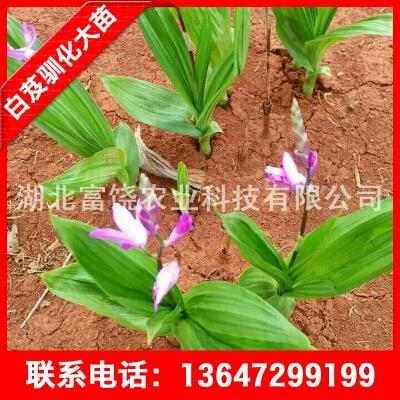 这是一张关于白及 白芨驯化苗 湖北紫花三叉白芨大苗种植基地的产品图片