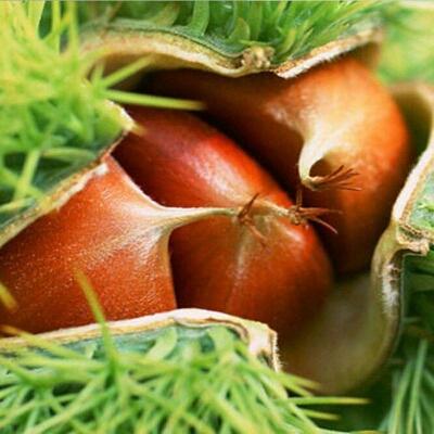 大红袍板栗苗 嫁接苗 0.5~1米