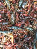 紅殼小龍蝦 人工養殖 7-9錢