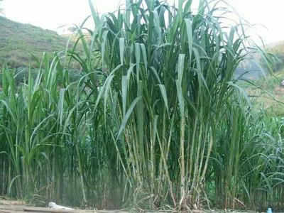 江西省抚州市临川区皇竹,甜象种节