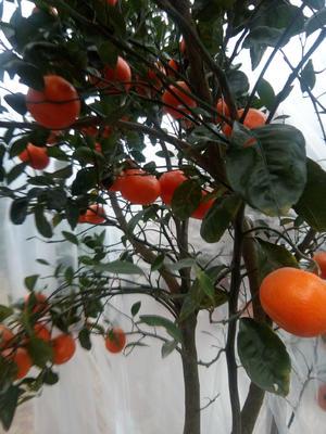 上海黄浦区正月红橘子苗