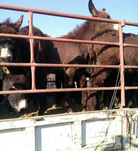 河北省張家口市張北縣毛驢 200-400斤