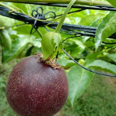 广西玉林紫香一号百香果 80 - 90克