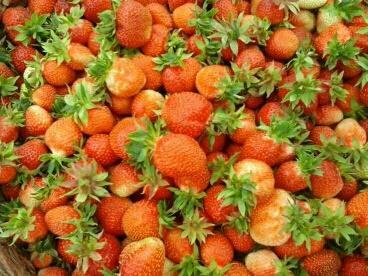 黑龙江省哈尔滨市尚志市草莓苗