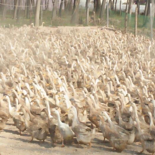 河南省商丘市睢陽區白鴨蛋 食用 散裝