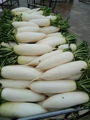 四川省南充市南充市嘉陵区白玉春萝卜 1.5~2斤