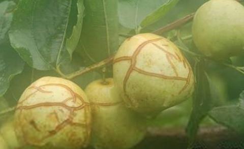 红枣裂果病的防治措施