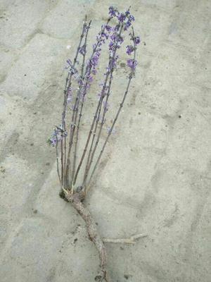湖北省随州市随县芫花