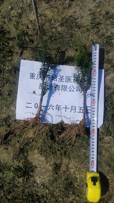 重庆北碚区紫杉