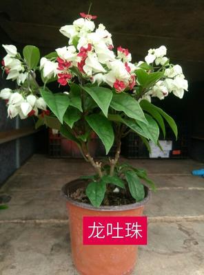 山东省潍坊市青州市蛇莓