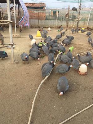 河南省信阳市固始县银斑珍珠鸡 4-6斤