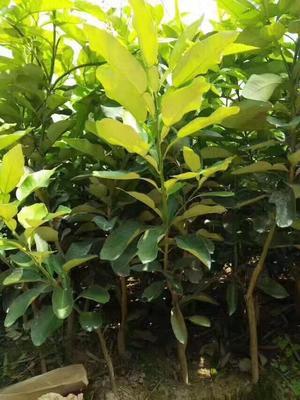 福建省漳州市平和县蜜柚苗木