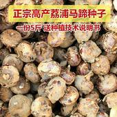 馬蹄種子  免費提供種植資料