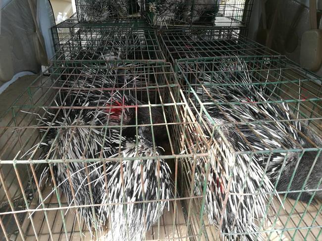 中华豪猪 20-30斤图片