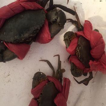青蟹 4.0两以上 公蟹