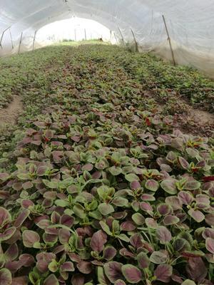 上海浦东新区红苋菜 15-20cm 紫红