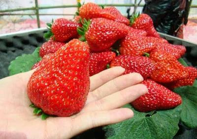 云南省曲靖市会泽县圣安德瑞斯草莓 40克以上