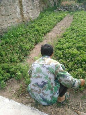 云南省昆明市西山区蓝莓种子