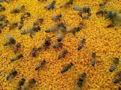 混合蜂花粉 18-24个月