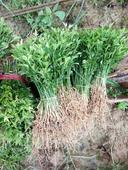 枳殼藥材籽播苗 根系發達,苗子粗壯,易成活!