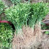 枳壳药材籽播苗 根系发达,苗子粗壮,易成活!