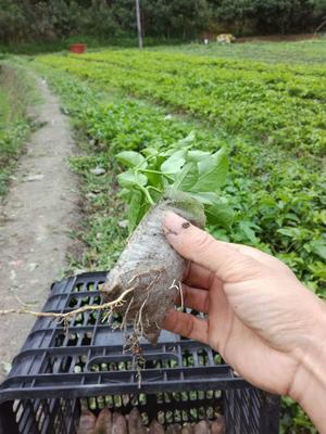 紫香百香果苗 扦插苗 品种齐全纯正