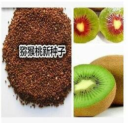 江苏省宿迁市沭阳县猕猴桃种子