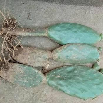 食用仙人掌 帶根發貨