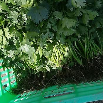 大葉香菜 20~25cm
