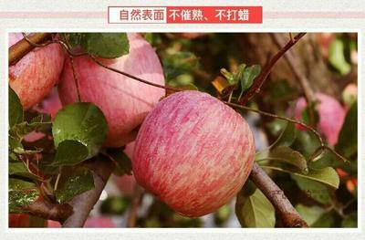 山東省煙臺市棲霞市紅富士蘋果 脆甜多汁可以帶皮吃,5斤裝包郵