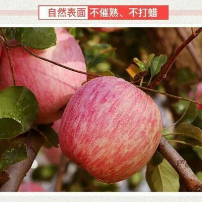山東省煙臺市棲霞市紅富士蘋果 脆甜多汁可以帶皮吃,5斤裝7-9個包郵,精品大果