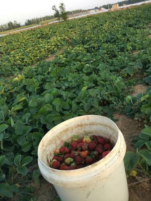 山东省潍坊市昌乐县美13草莓 20克以下