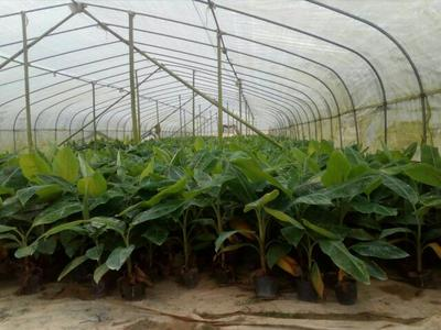 广东省江门市新会区广东香蕉1号苗
