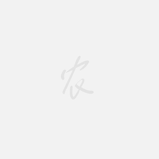 湖北随州白及 紫花三叉大白芨种苗,白芨种苗,白芨苗