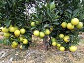 錦紅冰糖橙苗  嫁接苗 0.5米以下 甜橙新品種,值得擁有