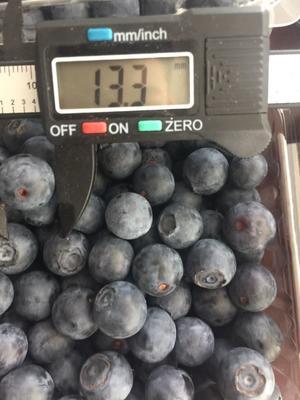 密斯提蓝莓 小果