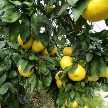 绿美人柑桔苗 嫁接苗 0.5~1米