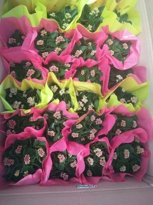 山东省潍坊市青州市大花品种