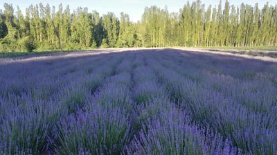 新疆维吾尔自治区伊犁哈萨克自治州霍城县法国薰衣草