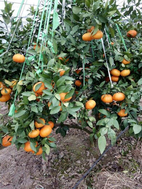 甘平柑橘苗 嫁接苗 0.5~1米