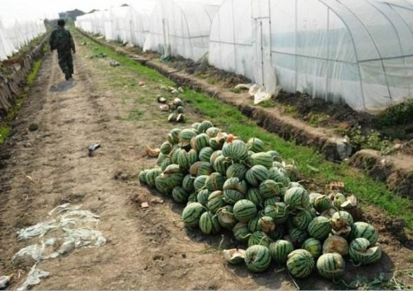 炸裂后的西瓜成堆清理出果园
