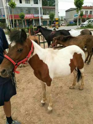 矮马 200-400斤