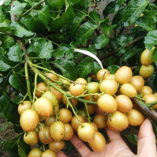 廣西壯族自治區欽州市浦北縣黑皮黃皮 球型